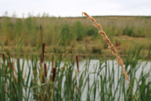 Selective Focus Shot Of A Reed With Cattails In The Background Growing Next To A River