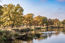 Beautiful Landscape In Oak Grove With Clumsy Branches Near River In Gold Autumn