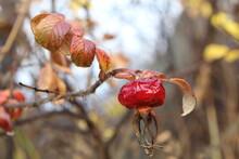 Dried Shriveled Rosehip Fruit ...