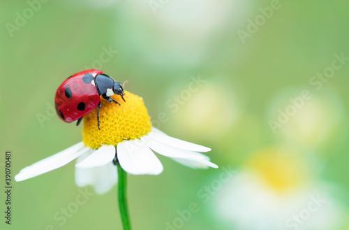 Valokuva ladybug on camomile