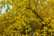 The Bright, Rich, Colorful Yellow Golden Leaves Of The Mulberry Still Hang From The Branches And Fall Off A Lot In November.
