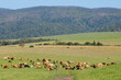 canvas print picture - Dairy cows grazing on lush green pasture of a rural farm, South Africa.