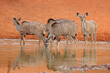 canvas print picture - Kudu antelopes (Tragelaphus strepsiceros) drinking at a waterhole, Mokala National Park, South Africa.