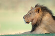 Leinwandbild Motiv Portrait of a big male African lion (Panthera leo), Kalahari desert, South Africa.
