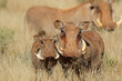 canvas print picture - Warthogs (Phacochoerus africanus) in natural habitat, South Africa.