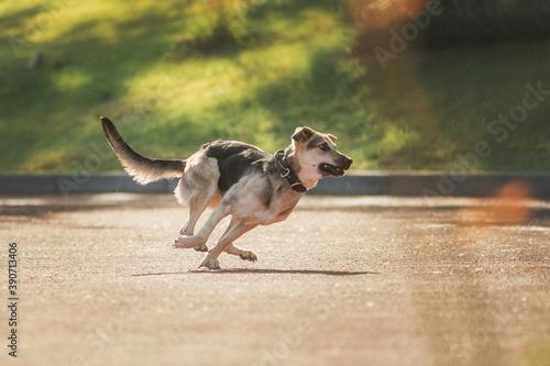 shepherd dog dog in park Canvas