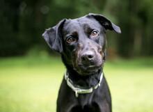 A Black Labrador Retriever Mix...