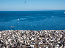 Northern Gannet Colony With Mo...