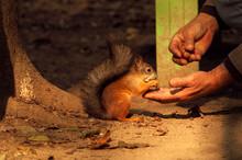 Squirrel Eating Nut