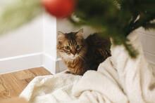 Cute Tabby Cat Sitting Under Christmas Tree On Soft Blanket