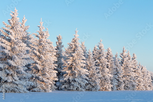 Fototapeta Frost covered evergreen trees, Alberta Canada