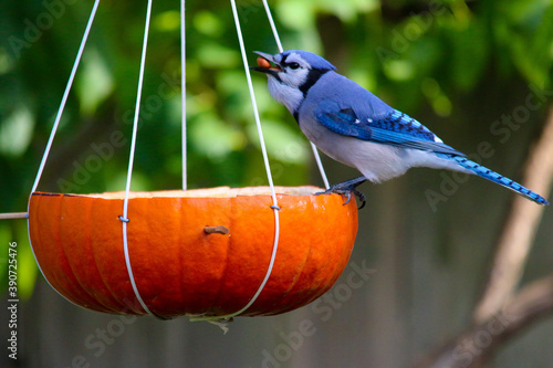 Fotografía Blue jay on pumpkin
