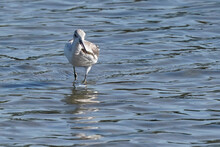 Common Greenshank In The Pond