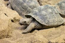 Galapagos Tortious In Captivity