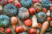 Assorted Pumpkins Long, Mini O...