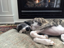Short Coated Whippet Dog Sleeping On The Bed In Front Of The Fireplace In Winter.