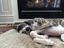 Short Coated Whippet Dog Sleep...