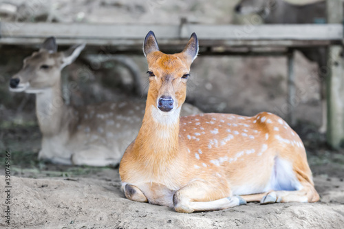 pair of spotted deer lie on the ground in the shade resting, artiodactyl cute an Canvas Print