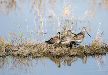 Three Sandpipers In A Row On A Tiny Island In The Pond In San Jacinto Wildlife Area Near Perris, Southern California
