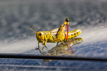 Bright Grasshopper Jumped On T...