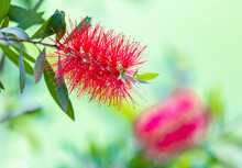 Close Up Of Scarlet Australian...