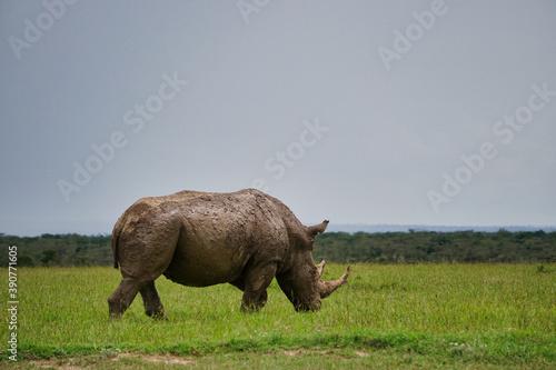 White rhinoceros  in a green meadow Fototapet