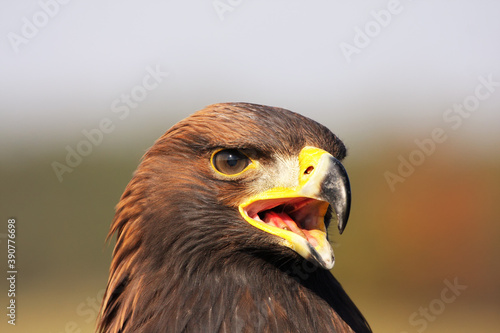 Carta da parati Detail of head of golden eagle (Aquila chrysaetos) with open beak