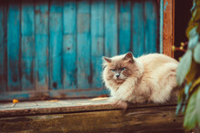 Fluffy Siamese Cat Sitting On Veranda And Looking At The Camera. Autumn Colors.
