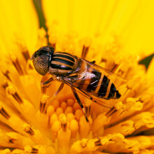 A Bee On Yellow Flower. Nectar...