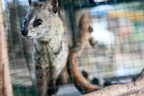 Fotografiet weasel on a captivity