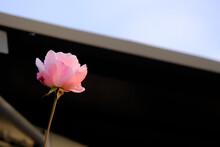 Una Rosa Di Colore Rosa In Un Giardino.