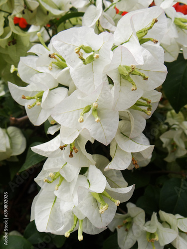 Photo Selective focus shot of Bougainvillaea white flower