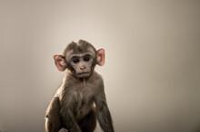 Fine Art Portrait Of Rhesus Macaque Or Macaca Mulatta Monkey Baby At Keoladeo Ghana National Park Bharatpur Rajasthan India