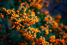Range Red Berries Of Fire Bush Firethorn Pyracantha Cotoneaster Ornamental Plant Very Attractive In The Autumn Fall