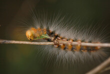 Colorful Hairy Caterpillar Eat...