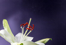 Fantastic Macro Shot Of A Beautiful White Lily Flower With A Long Stigma In Blossom