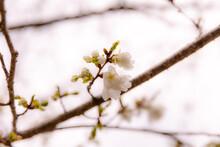 雨に濡れる桜の花びら