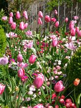 Closeup Purple Tulips (Tulipa) And Daisies In Garden