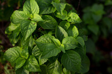 Holy Basil Tree In Garden With...