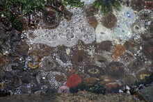 Sea Anemones And Mussles In Open Nature, In The Rocks By The Atlantic Ocean. It Is Low Tide. Yzerfontain, West Coast Of South Africa, Africa.
