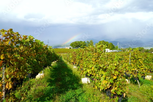 Vineyards of Japanese wineries on a sunny autumn day