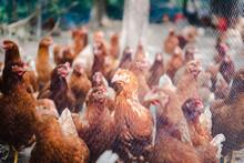 Brown Chicken Or Hen In The Ya...