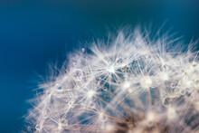 The Parachutes Of A Dandelion With Dew Drops Closeup