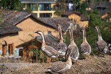 The Ducks Looking At Villages