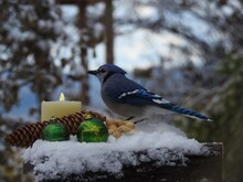 A Blue Jay At The Bird Feeder For Christmas
