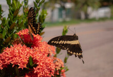 Two Brown Butterflies With Yellow Lines In Their Wings Flying Over A Bush With Pink Flowers In A Sunny Day