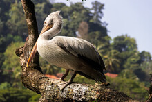 Dalmatian Pelican Sit On Branch
