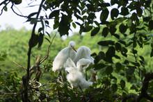 Intermediate Egret (Egretta In...