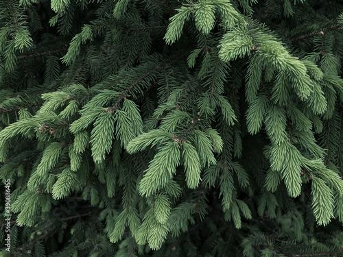 Fototapeta Background texture of green branches of a Christmas tree.  Christmas background.  Green fresh needles.  Copy space, wallpaper. obraz