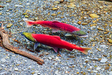 Wild, Red Sockeye Salmon Spawning In A Clear Forest Stream In Alaska.  These Fish Have Reached The End Of Their Migration From The Ocean To Their River Spawning Grounds To Lay Their Eggs